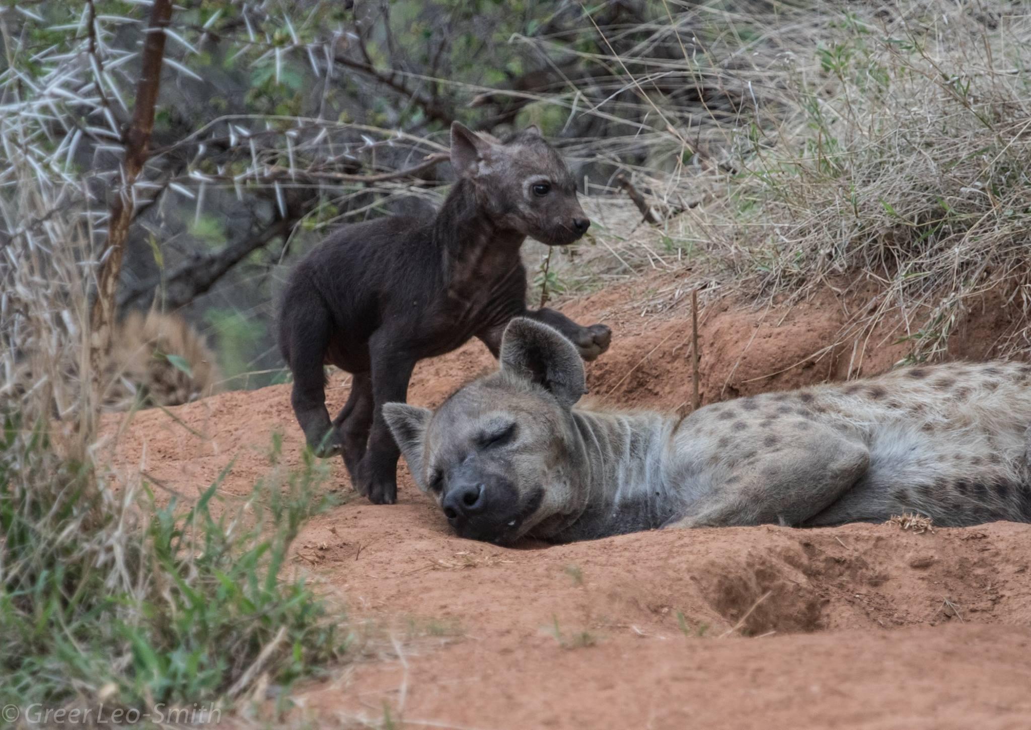 Hyenas on Leadwood Big Game Estate