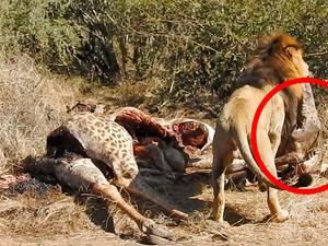 Lion Pulls Out Baby Giraffe From Mother