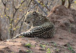 Mjejane Game Reserve - Leopard