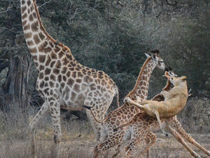Lioness Kills Giraffe Calf at Waterhole