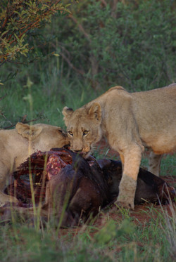 Lions on a kill on Black Rhino