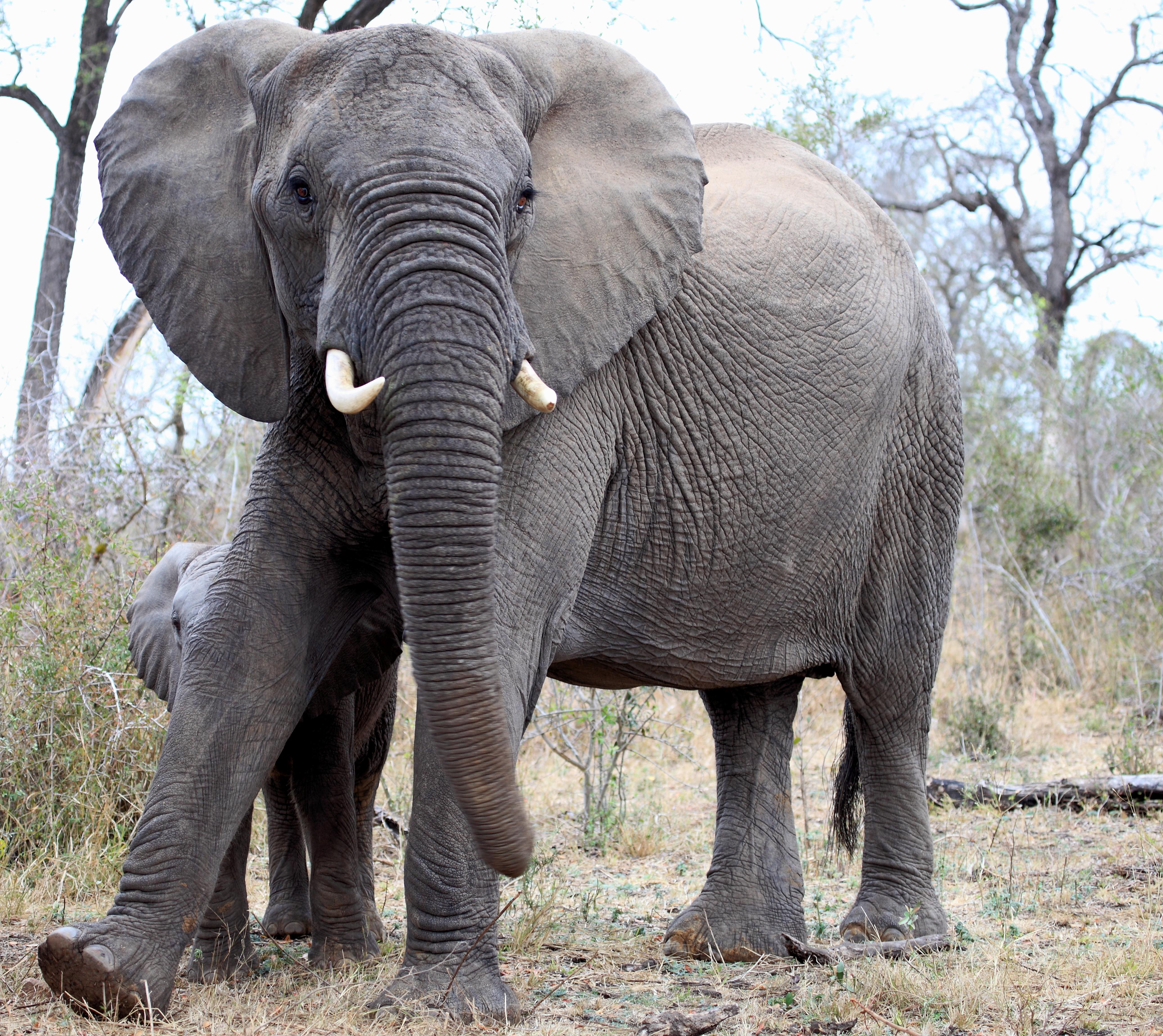 Mjejane Game Reserve - Elephant