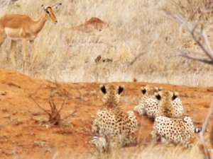 Impala Walks Right into Three Cheetahs