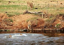 Mjejane Reserve - Lion vs Croc
