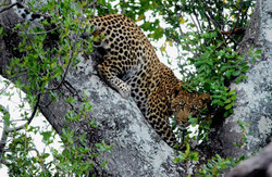 Leopards on Leadwood Big Game Estate