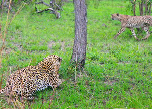 Cheetah Walks Right into a Leopard