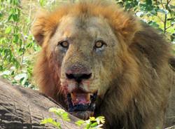 Mjejane Game Reserve - Lion Hunt