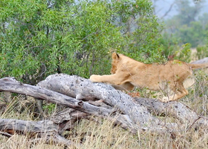 Lion Cubs Discover the See-Saw