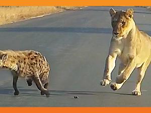 Three-Legged Hyena Falls Right Into Lion's Trap