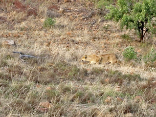Lions Kill Zebra While Chasing Young Males from Pride