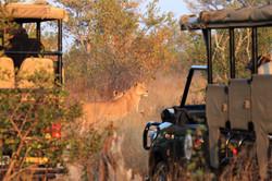 Mjejane Game Reserve - Lions