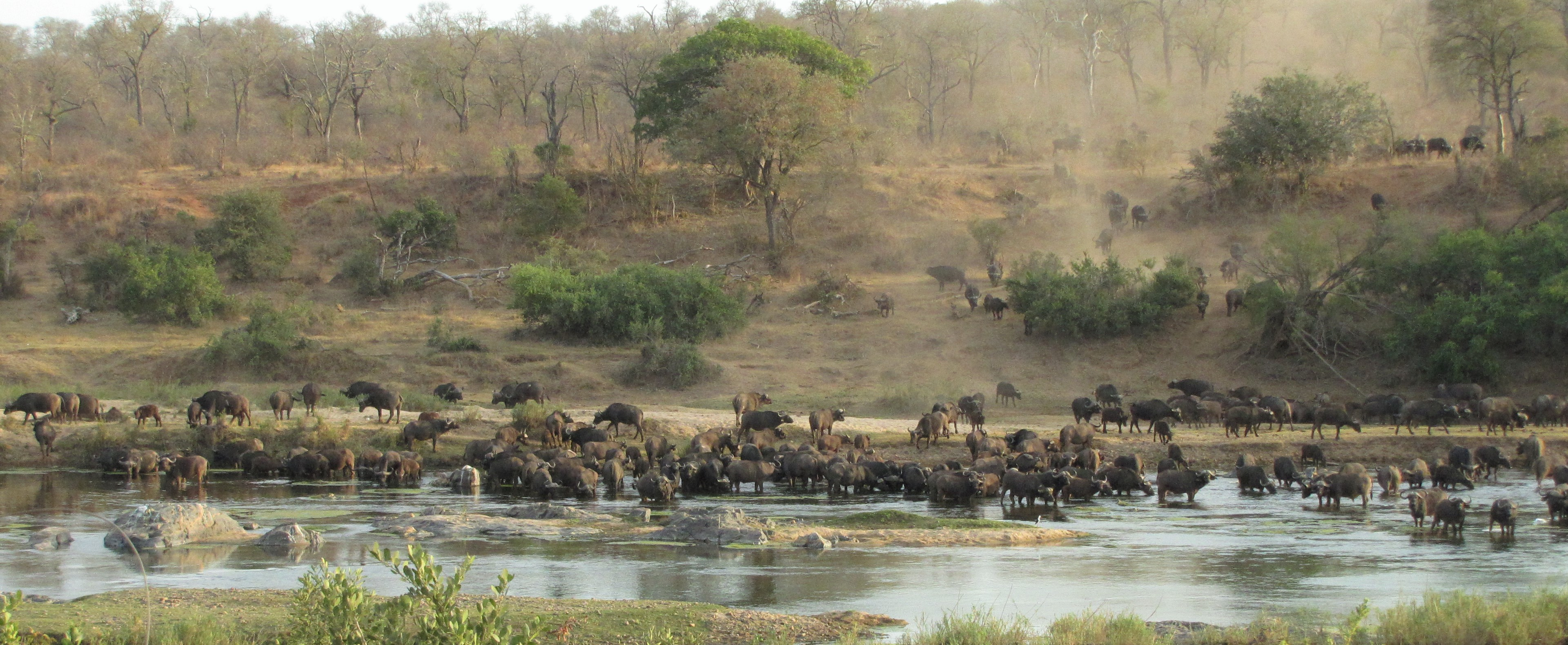 Mjejane Reserve - Herd of Buffaloes