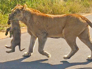 Lioness Rescues Her 6 Cubs