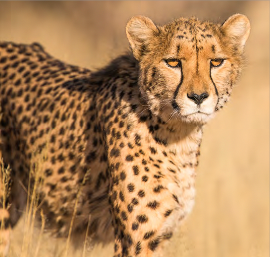 Cheetah on Mdluli Property