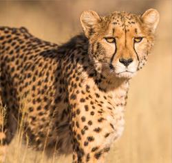 Cheetah on Mdluli Property