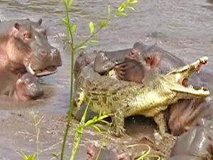 30+ Hippos Attack One Crocodile
