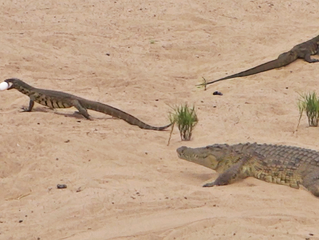 Crocodile Tries Fighting Off 2 Monitor Lizards to Protect Eggs