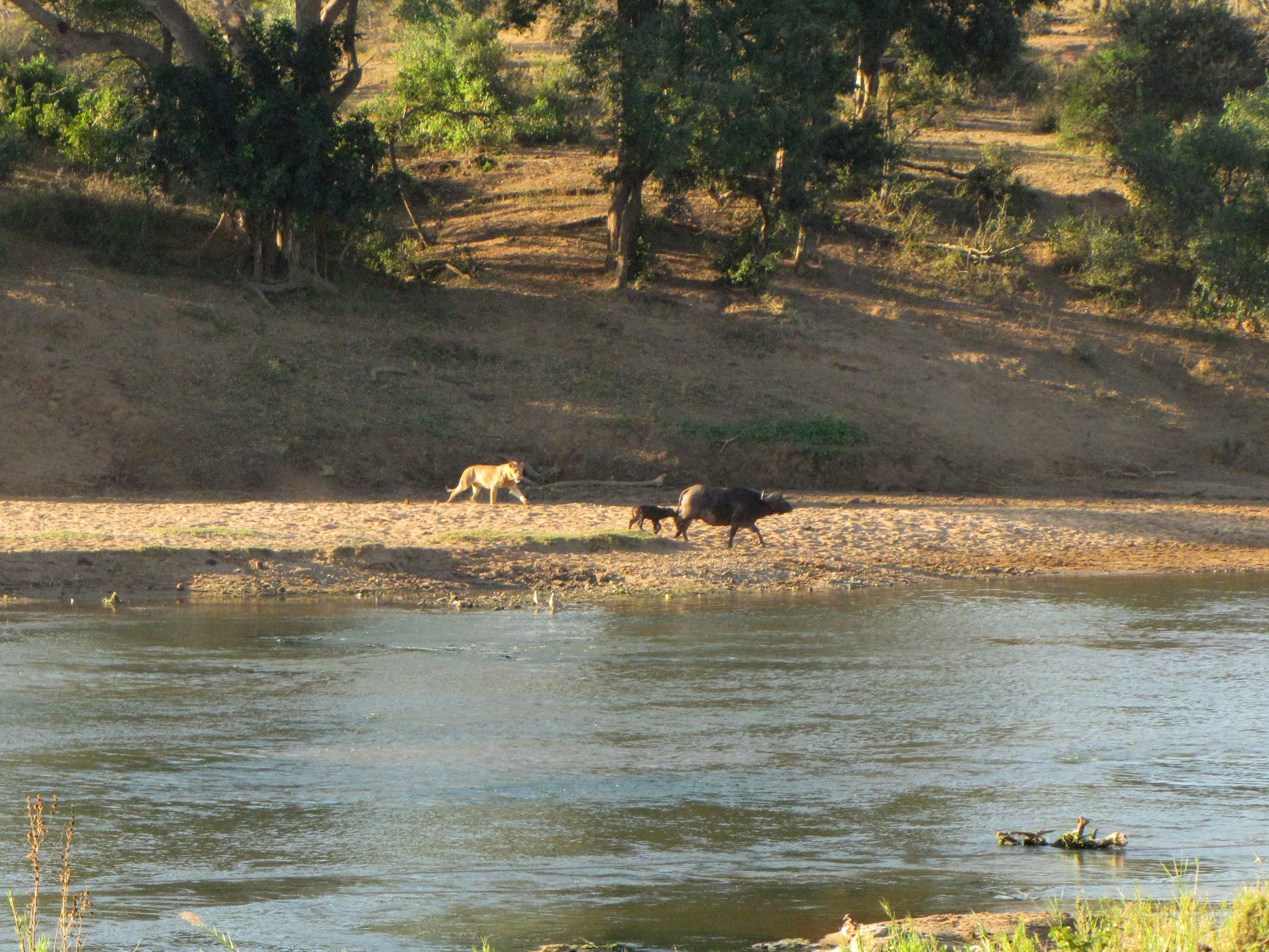 Mjejane Reserve - Lions Killing Buff