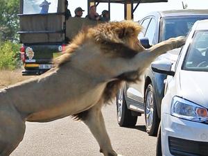 Lion Quickly Attacks Car!