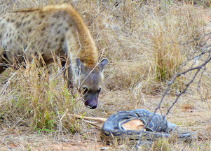 Hyena Steals Impala from Python