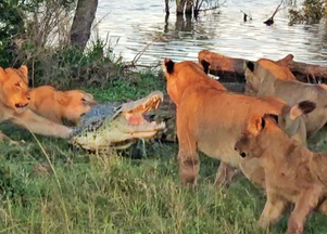 Cornered Crocodile is Forced to Attack 5 Lions