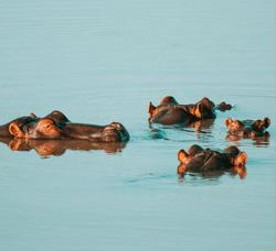 Hippo on Mdluli Property