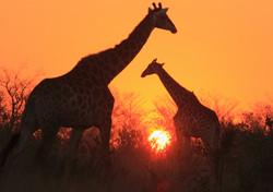 Mjejane Game Reserve - Giraffes