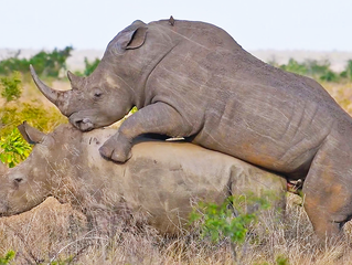 Rhinos Mating in Front of Tourists
