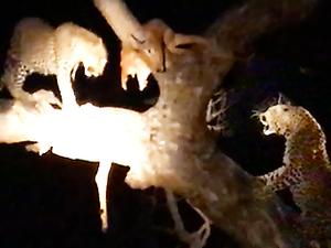 Leopard vs Leopard vs Hyena Over Food