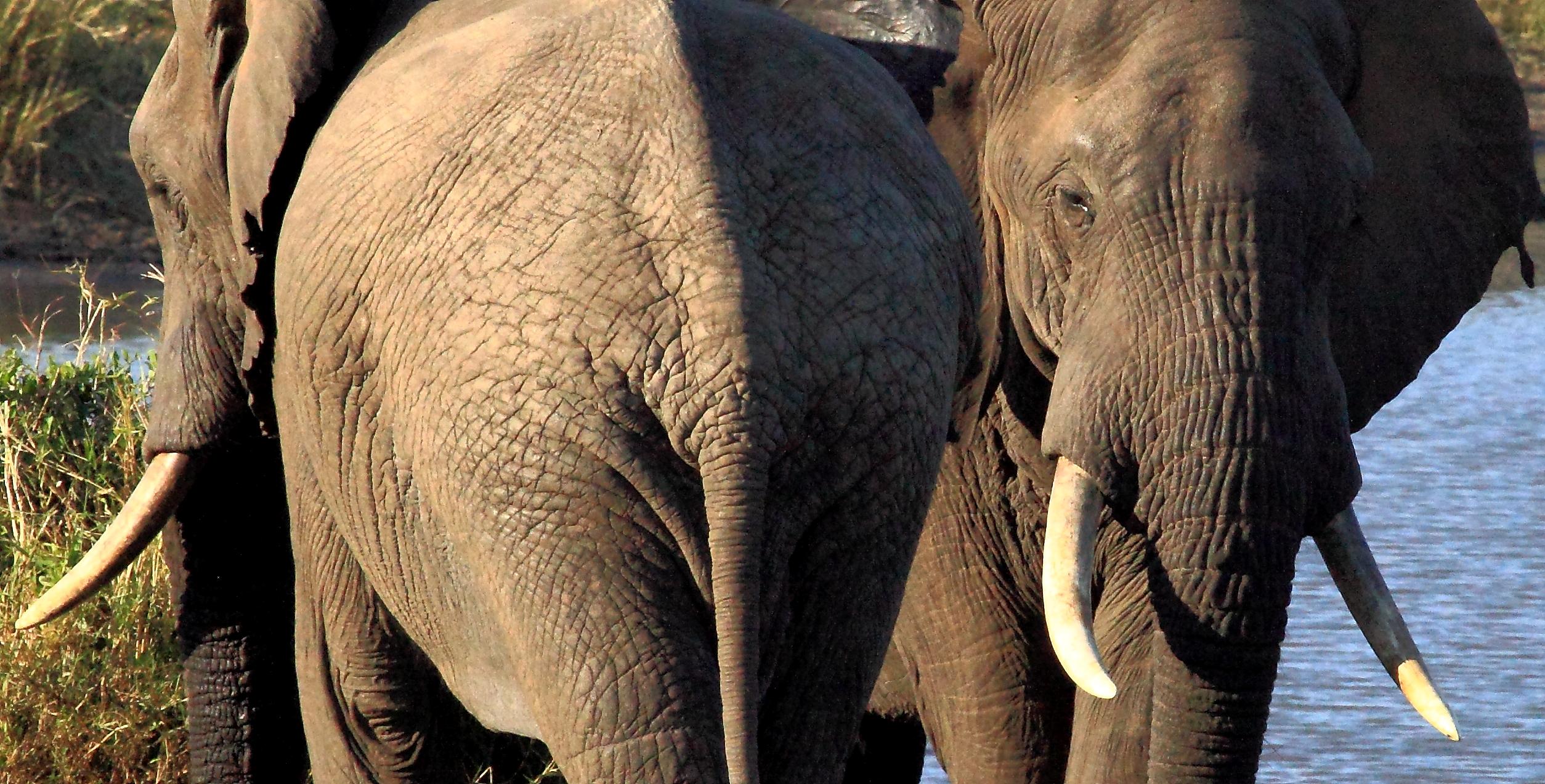 Herd of Elephants on Black Rhino