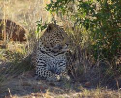 Leopard in shade on Black Rhino