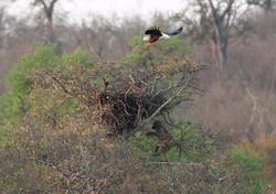 Mjejane Reserve - African Fish Eagle