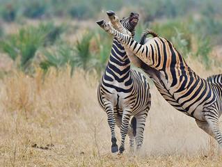 Zebras Fighting - Battle of the Stripes
