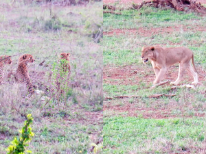 1 Lioness Steals Impala from 5 Cheetahs