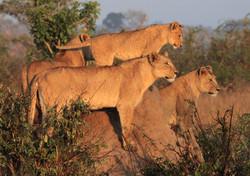 Mjejane Private Game Reserve - Lion