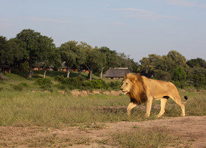 MalaMala Game Reserve hosts live Q&A with leading carnivore expert