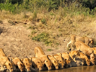 20 Lions Come Down to Drink in a Perfect Line