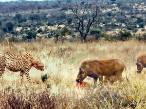 Family of Warthogs Steal and Eat Cheetah's Meal
