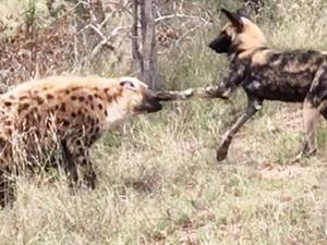 Wild Dog & Hyena Punching Match