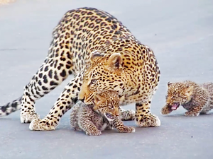 Leopard Teaches Cubs How to Cross the Road