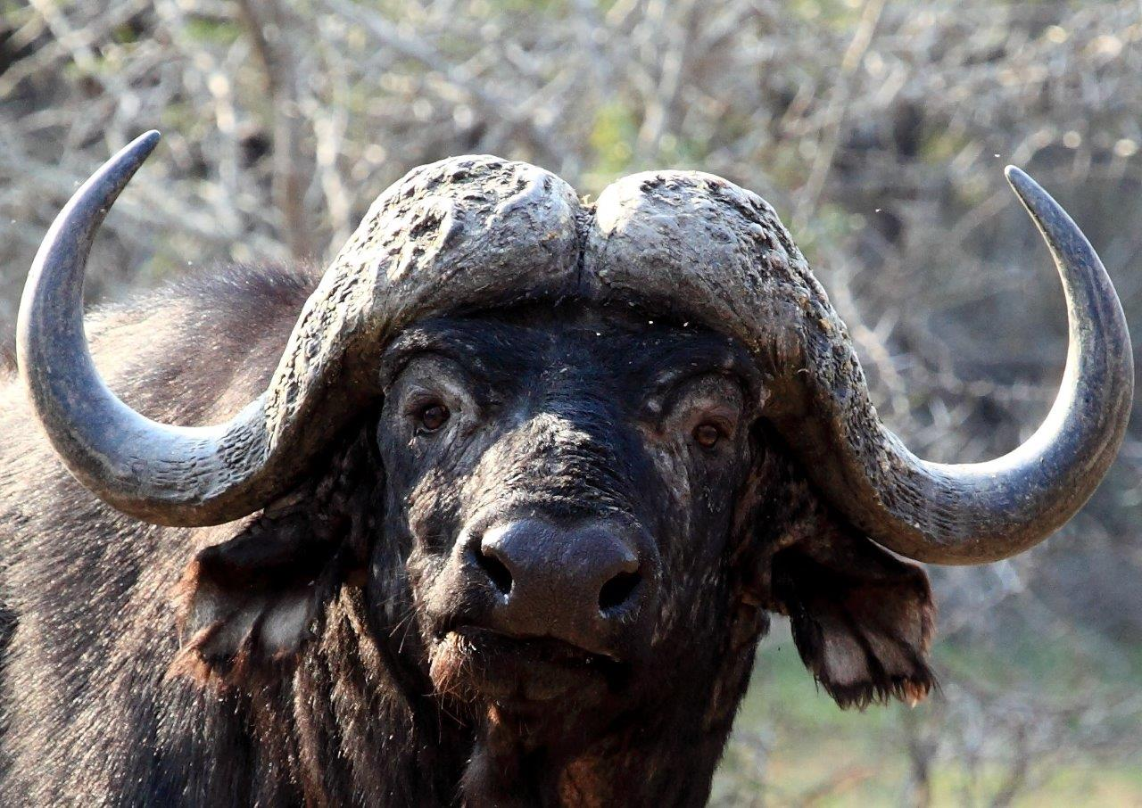 Mjejane Game Reserve - Buffalo