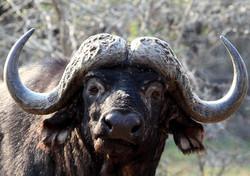 Mjejane Game Reserve - Buffalo