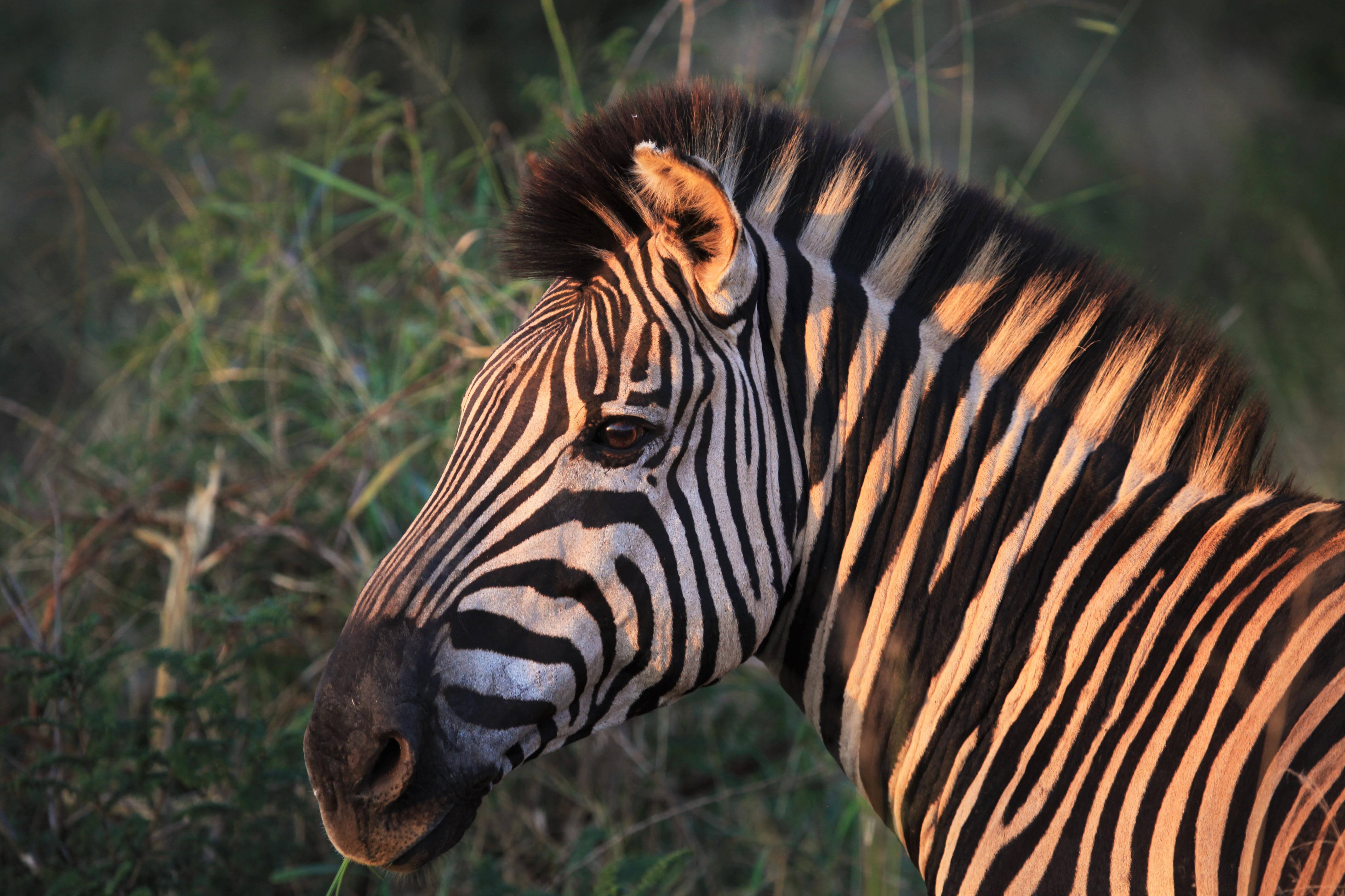 Zebra in Pilanesberg Black Rhino