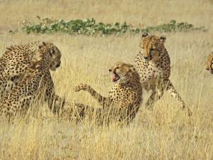 4 Cheetahs Against 1