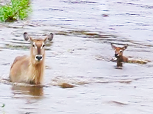 Baby Buck Washes Away in River as Mother Barely Notices