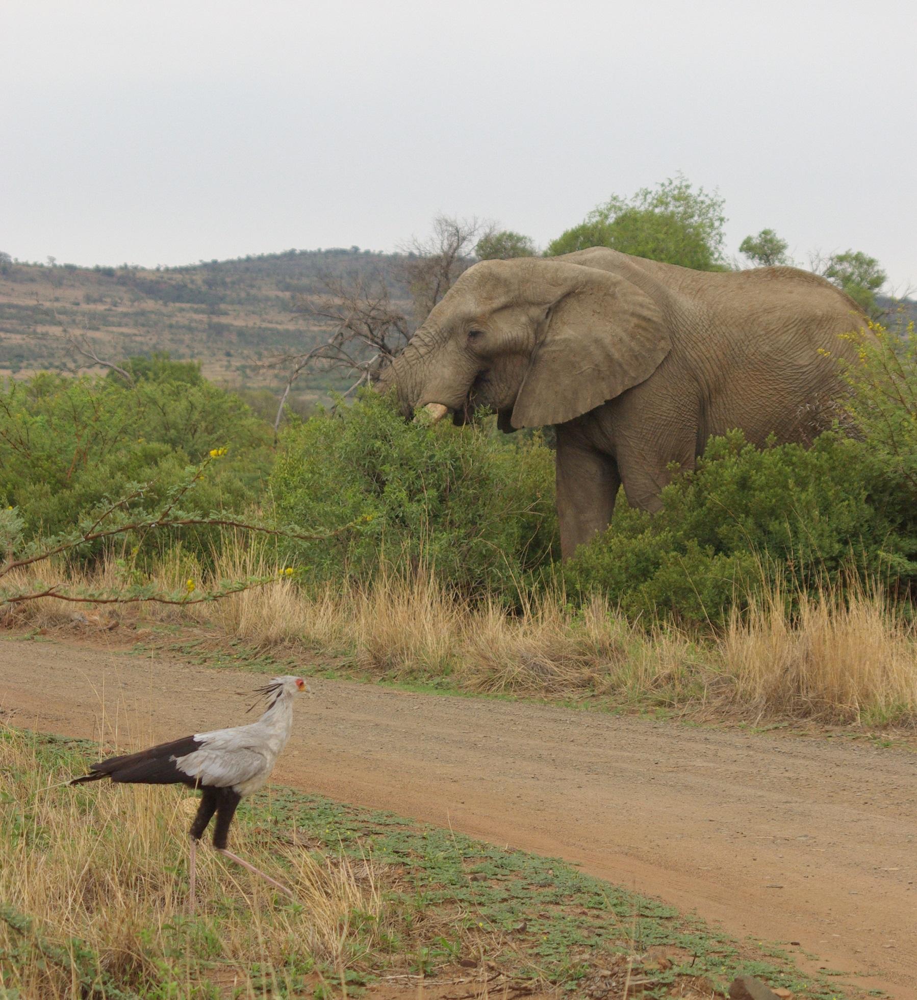 Elephant and Secretarybird on Drive