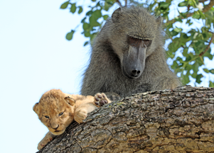 Baboon Adopts and Grooms Lion Cub