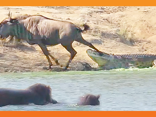 Hippos Come to Rescue Wildebeest from Crocodile
