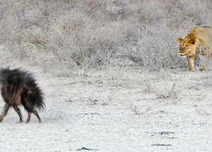 Hyena Walks Right Into 3 Male Lions