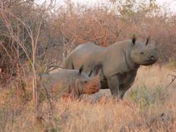 Black Rhinos on the Reserve